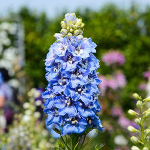 Delphinium Magic Fountain Sky Blue