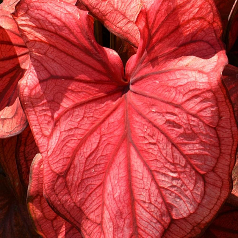 Caladium Desert Sunset