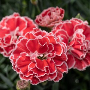 Dianthus Constant Beauty Crush Orange