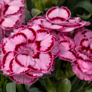 Dianthus Constant Beauty Crush Pink