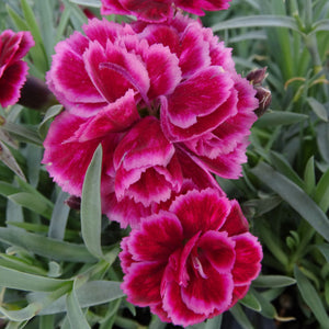 red and pink carnation bloom
