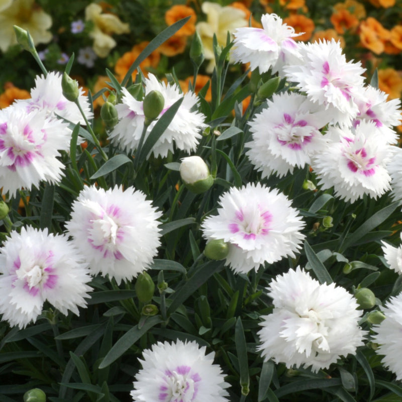 white carnations with pink eye