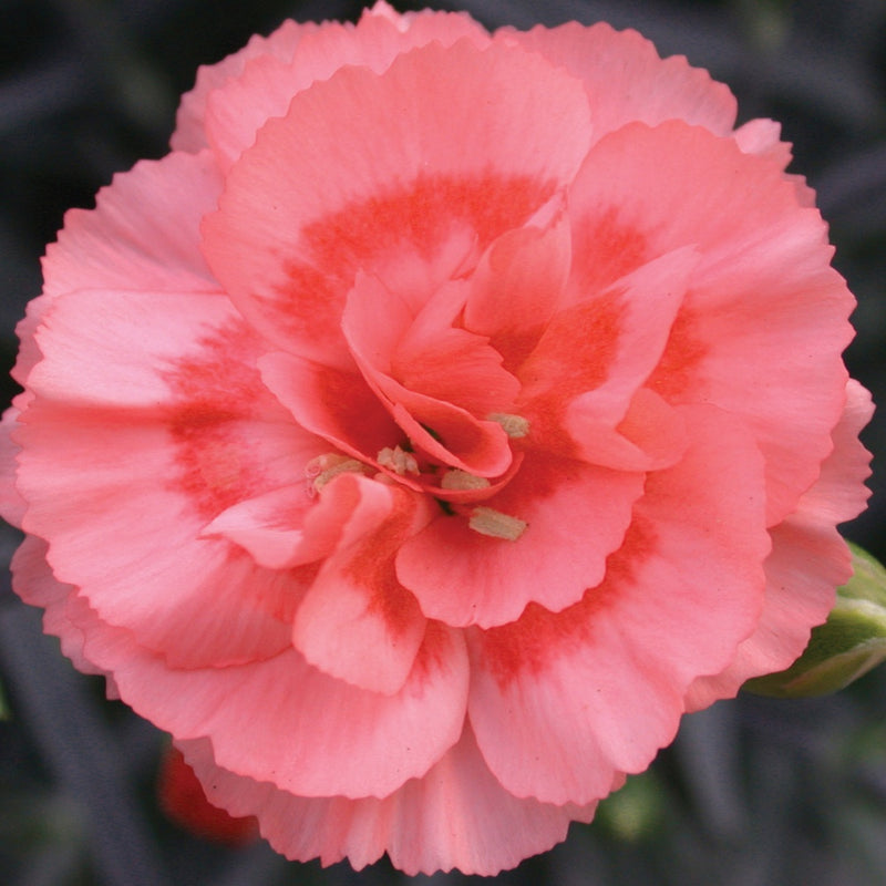 pink carnation first romance bloom