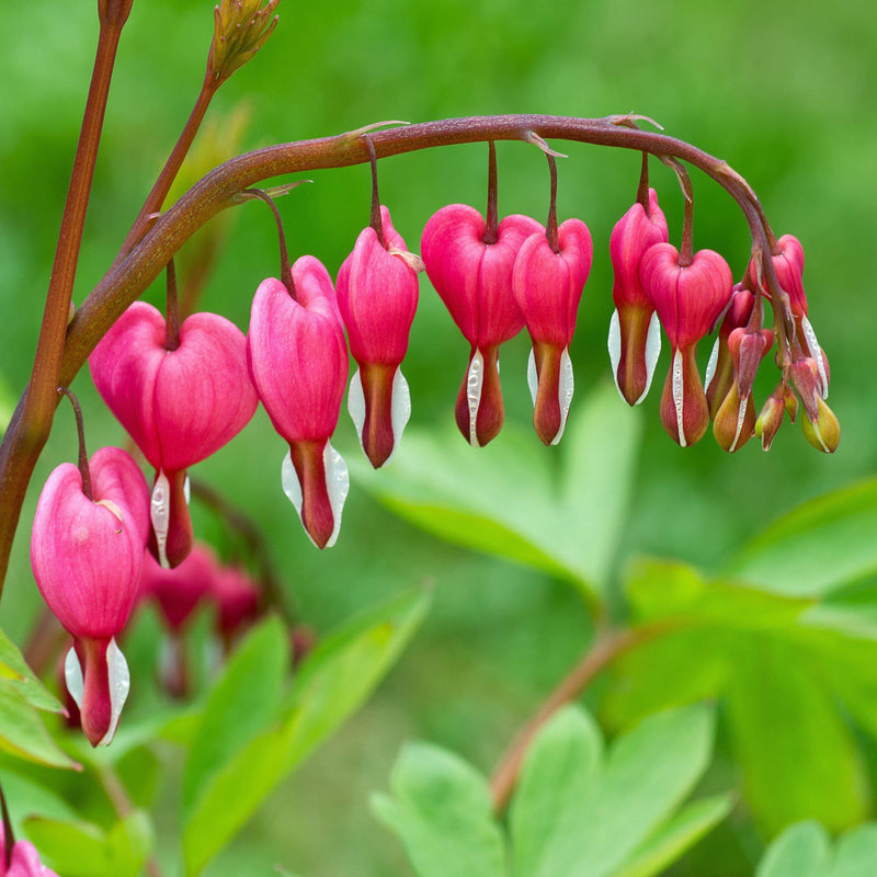 Old fashioned bleeding heart flowers