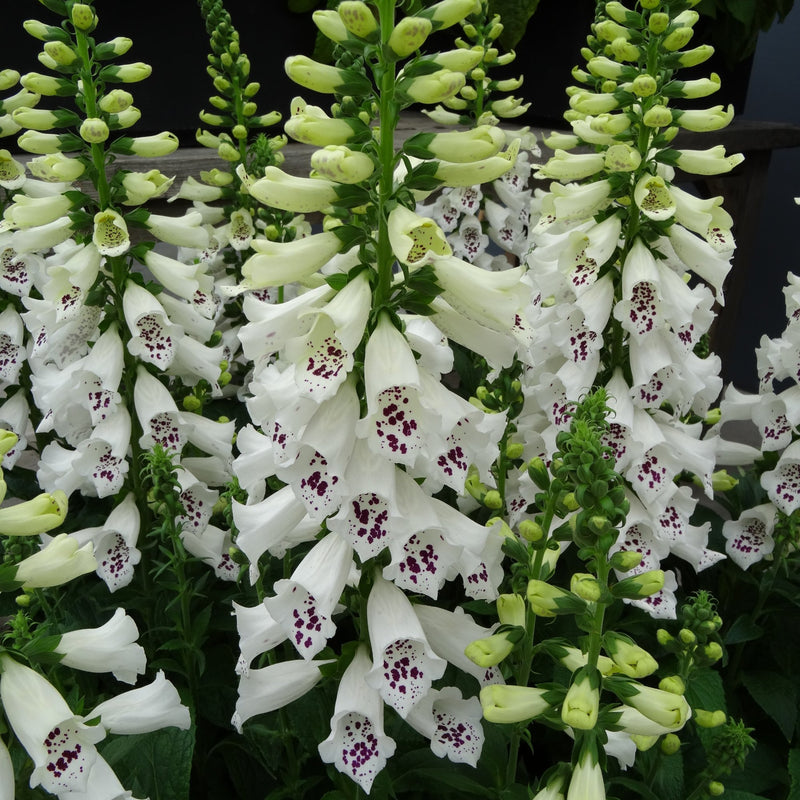 Foxglove Dalmatian White Improved