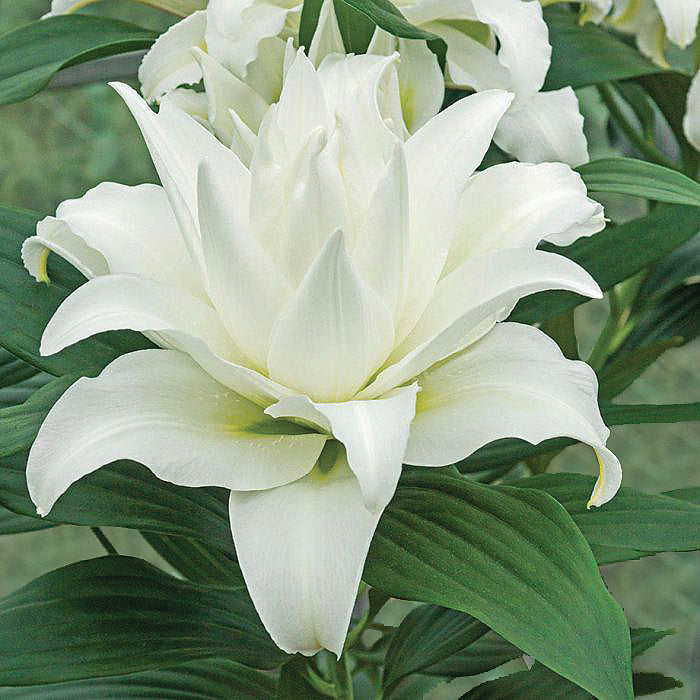 Double White Oriental Lily Bulbs Polar Star