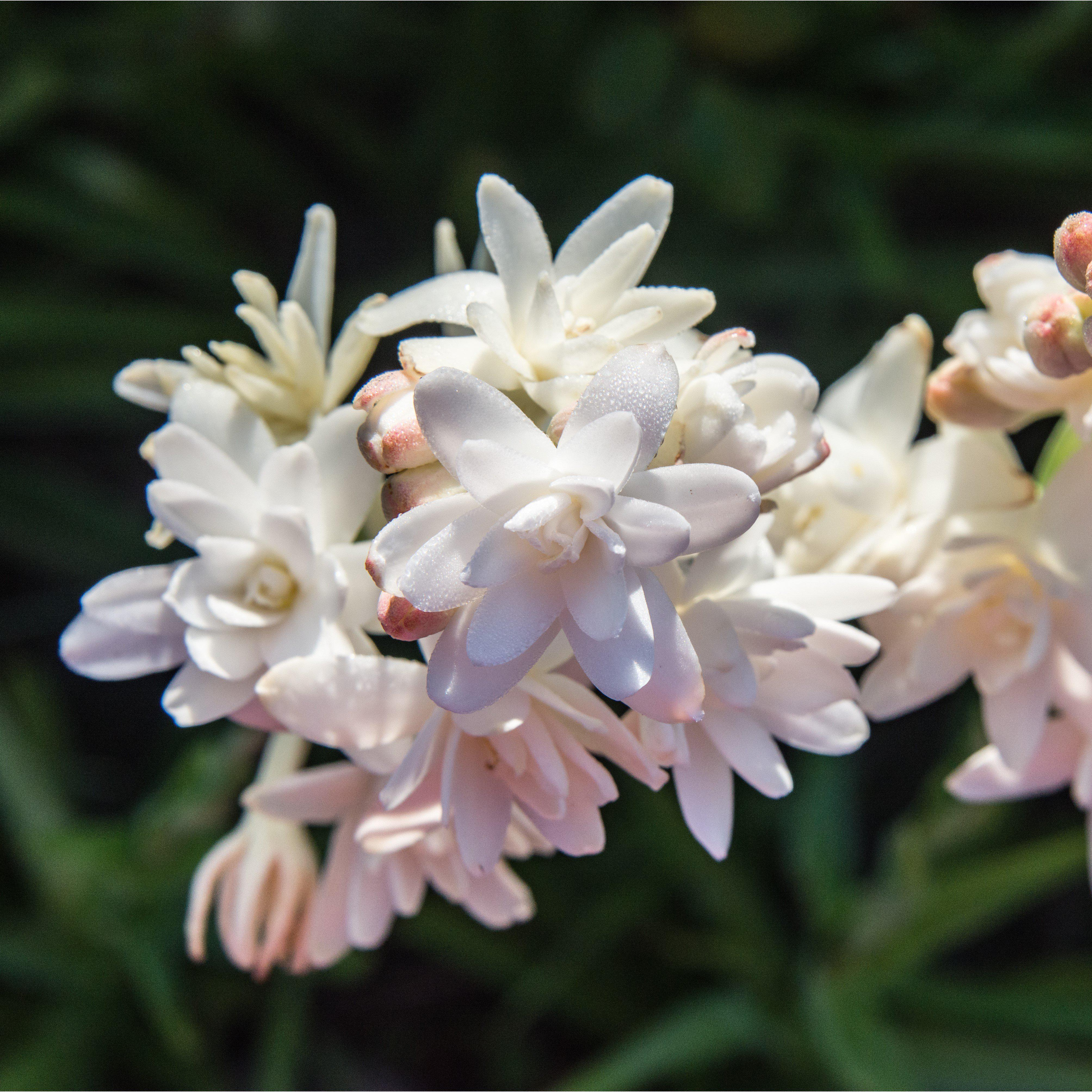 Tuberose Pink Sapphire Double Pink Tuberose Bulb Clumps Easy To Grow Bulbs