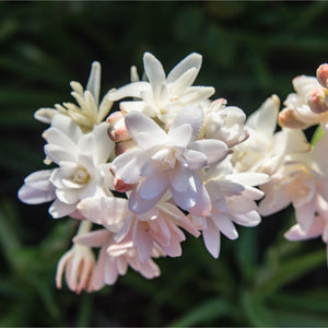 products/Double_Tuberose_Pink_Saphire.SHUT.jpg