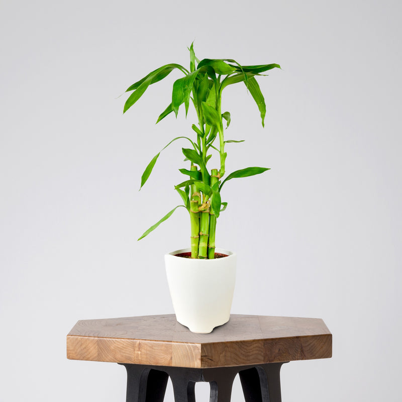 Dracaena Lucky Bamboo in a White Ceramic Pot