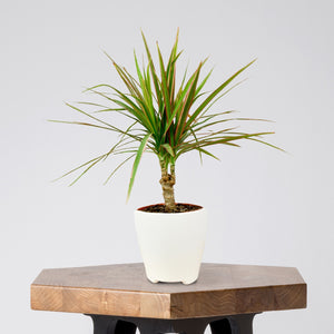 Dracaena Marginata Cane Bicolor in a White Ceramic Pot