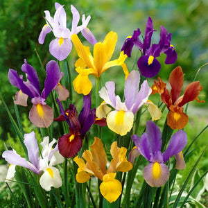 Colorful Dutch Iris Spring Sparkle Mix