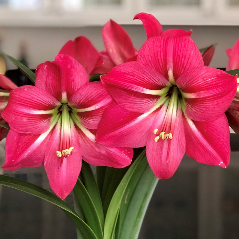 blooming pink flush amaryllis