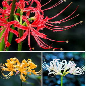 Lycoris trio of flowers: red, yellow, white