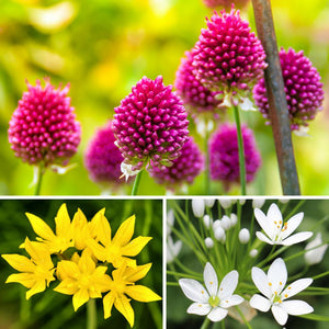 Allium Garden Sprinkles Collection