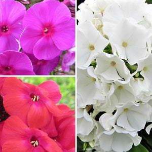 Phlox  Flame Collection