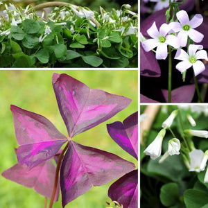 Flowers in the Oxalis Butterflies and Shamrocks Mix