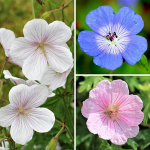 Geranium Patio and Borders Collection