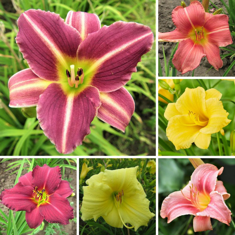 Daylily, Petite Profusion Collection