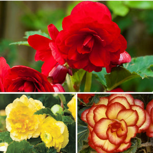 Multiple Summer Sunset Begonia Collection