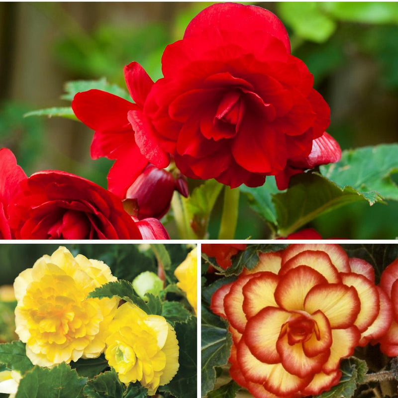 Summer Sunset Begonia Collection