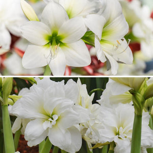 Amaryllis White Clouds Duo