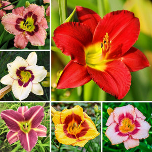 Daylily Colorful & Carefree Collection