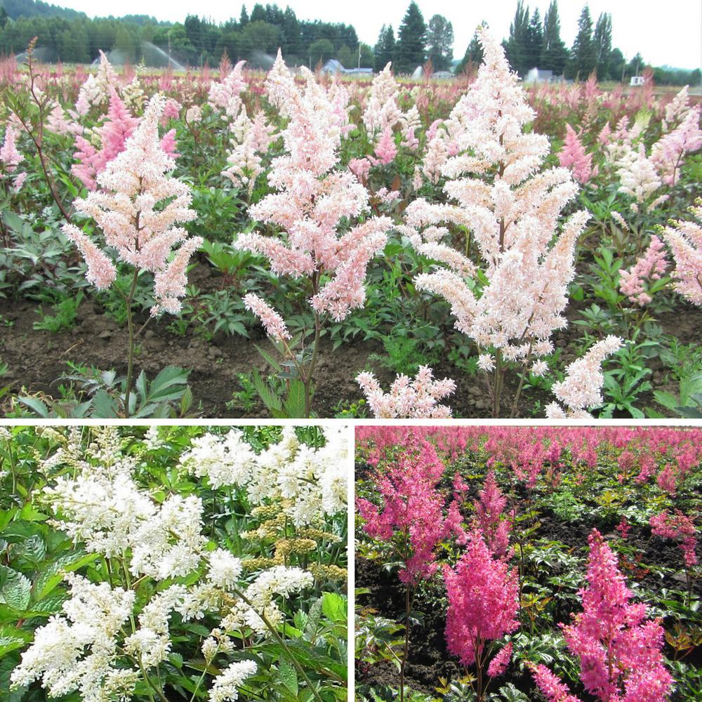 Astilbe Bare Root Plant Collection Pink And White Feather Flower