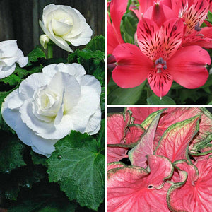 Begonia caladium alstroemeria collection