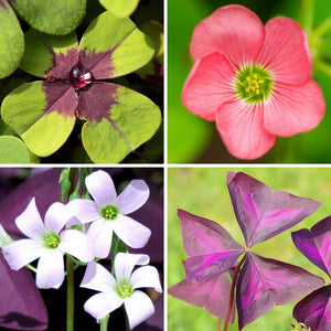 All 4 Flowers of the Oxalis Double Luck Collection