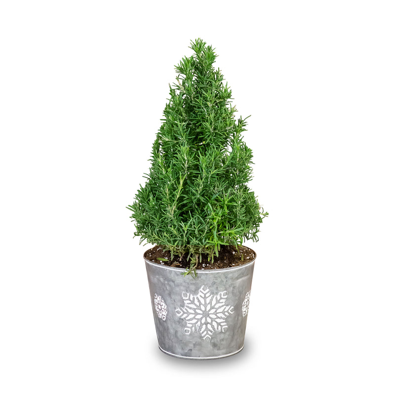Rosemary Topiary Tree Gift - Free Shipping