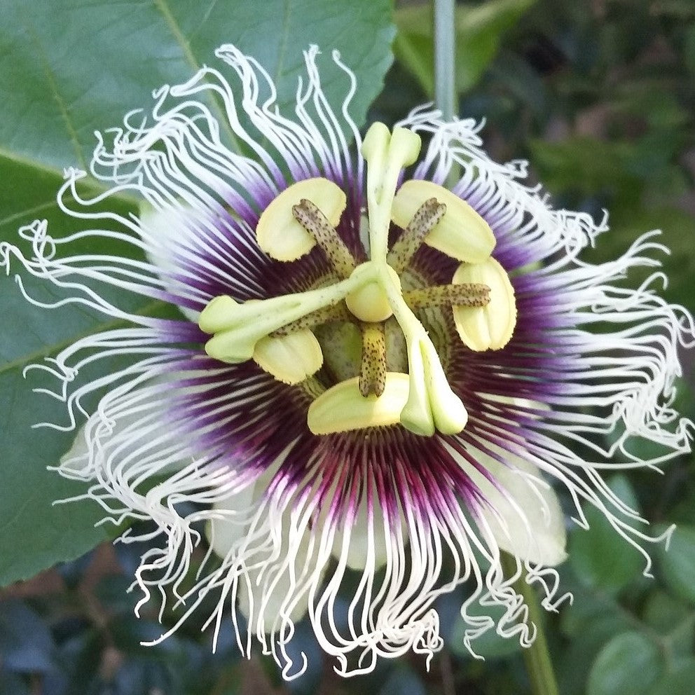 Purple White Passion Flower Plant For Sale Edulis Frederick