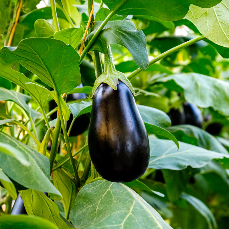 Eggplant Nadia growing on a vine