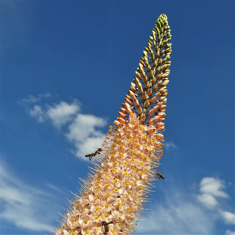 Eremurus Cleopatra (Foxtail Lily, Desert Candle)