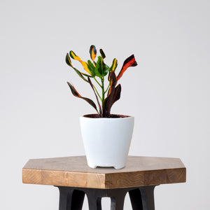 Croton exotic plant in white ceramic pot on a stool