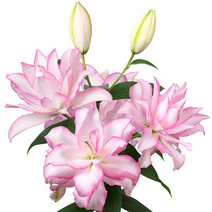Light Pink Oriental Lily Bulbs For Sale
