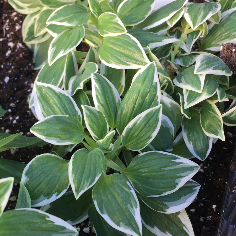 Green and white foliage of Alstroemeria Fabiana