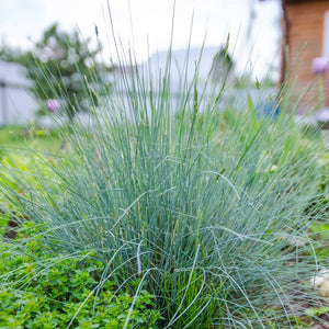 products/Festuca_Grass__Elijah_Blue__Square.SHUT.jpg