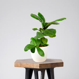 Fiddle Leaf Fig in a Classic White Pot