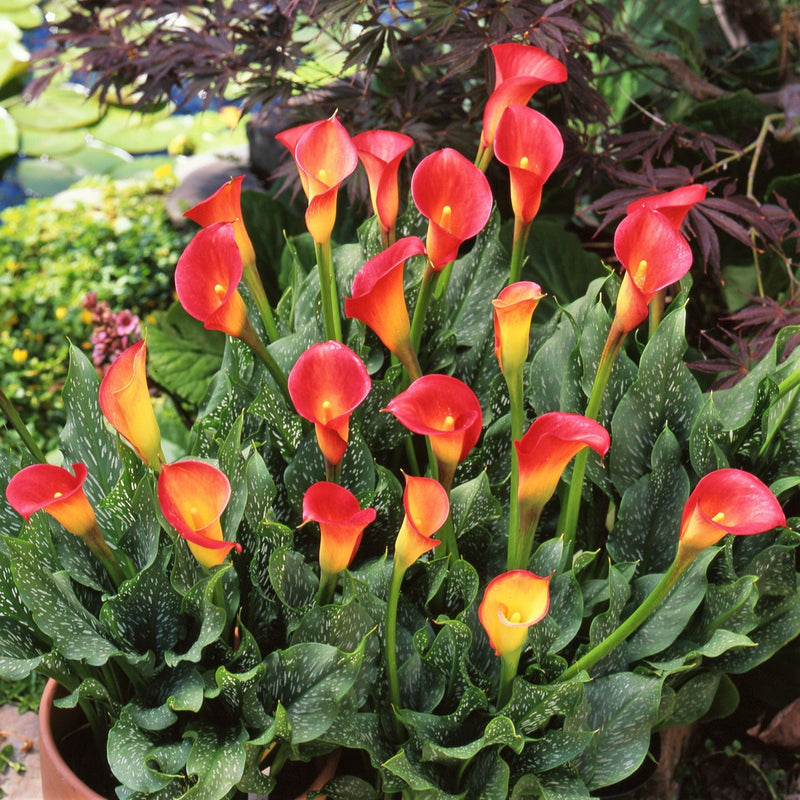 Red Yellow Calla Lily Bulbs For Sale Calla Fire Glow Easy To