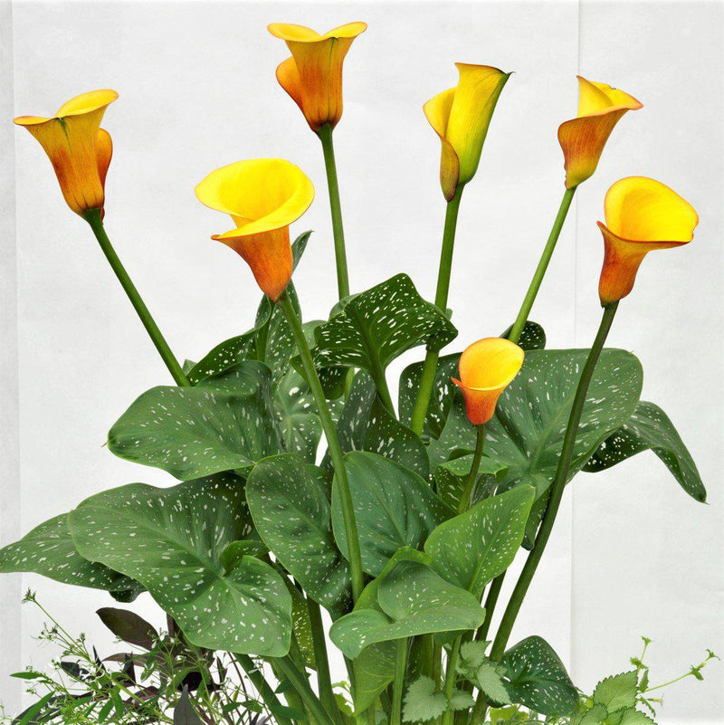 Large orange and yellow calla lilies