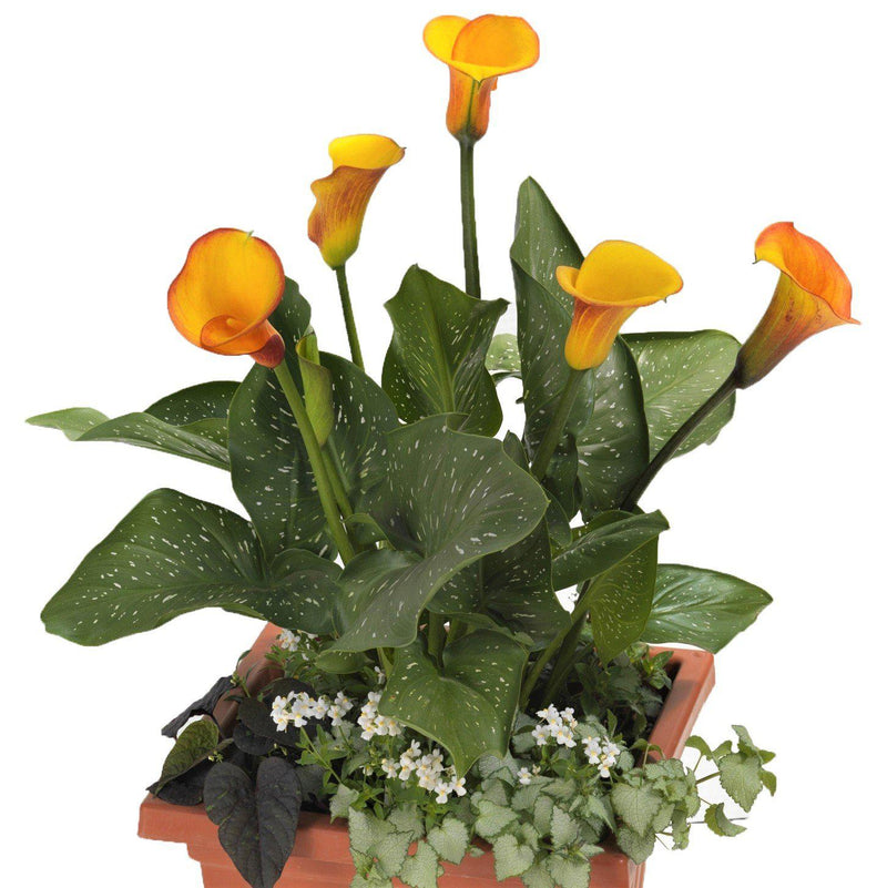 Calla lilies in container gardens