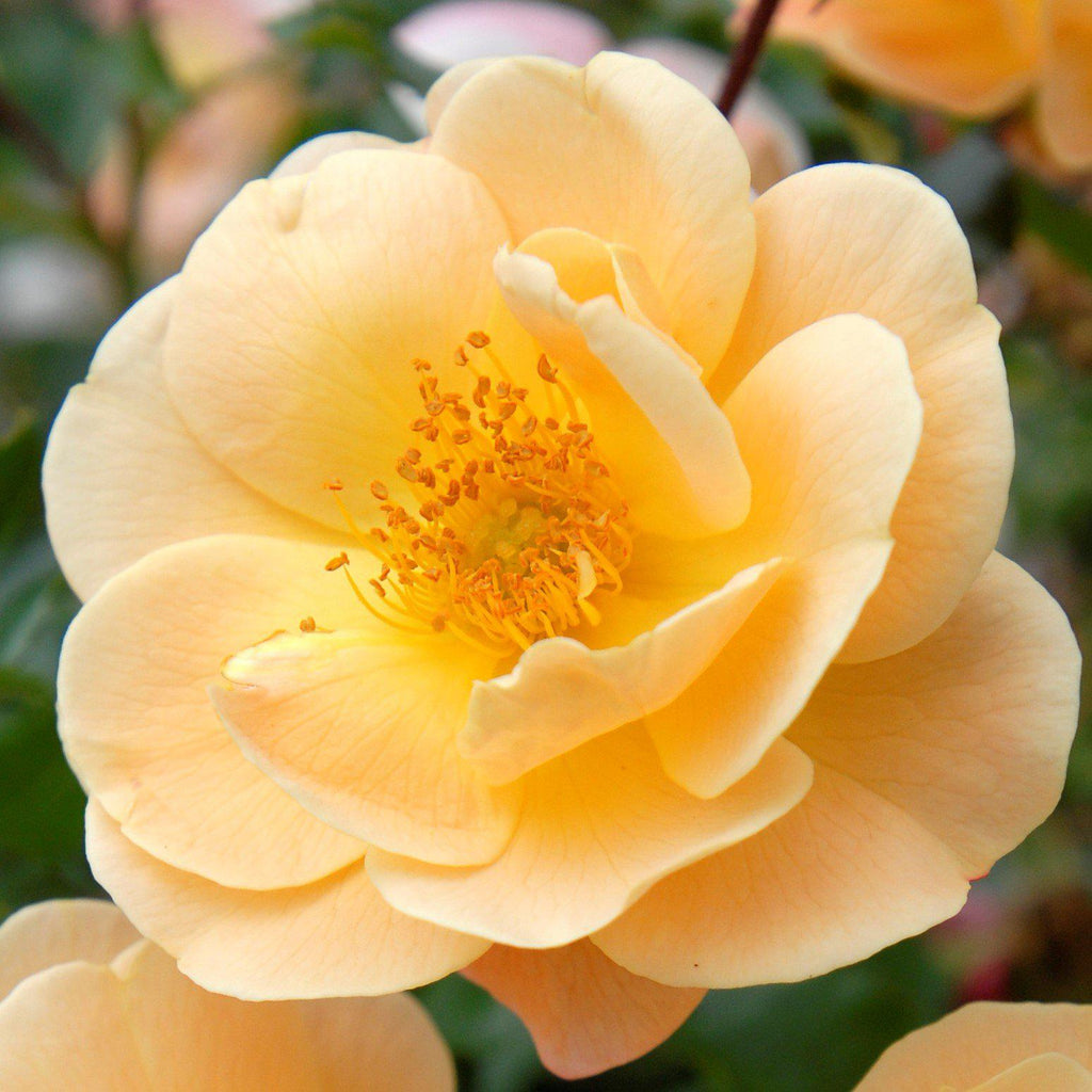 Flower Carpet Rose Amber