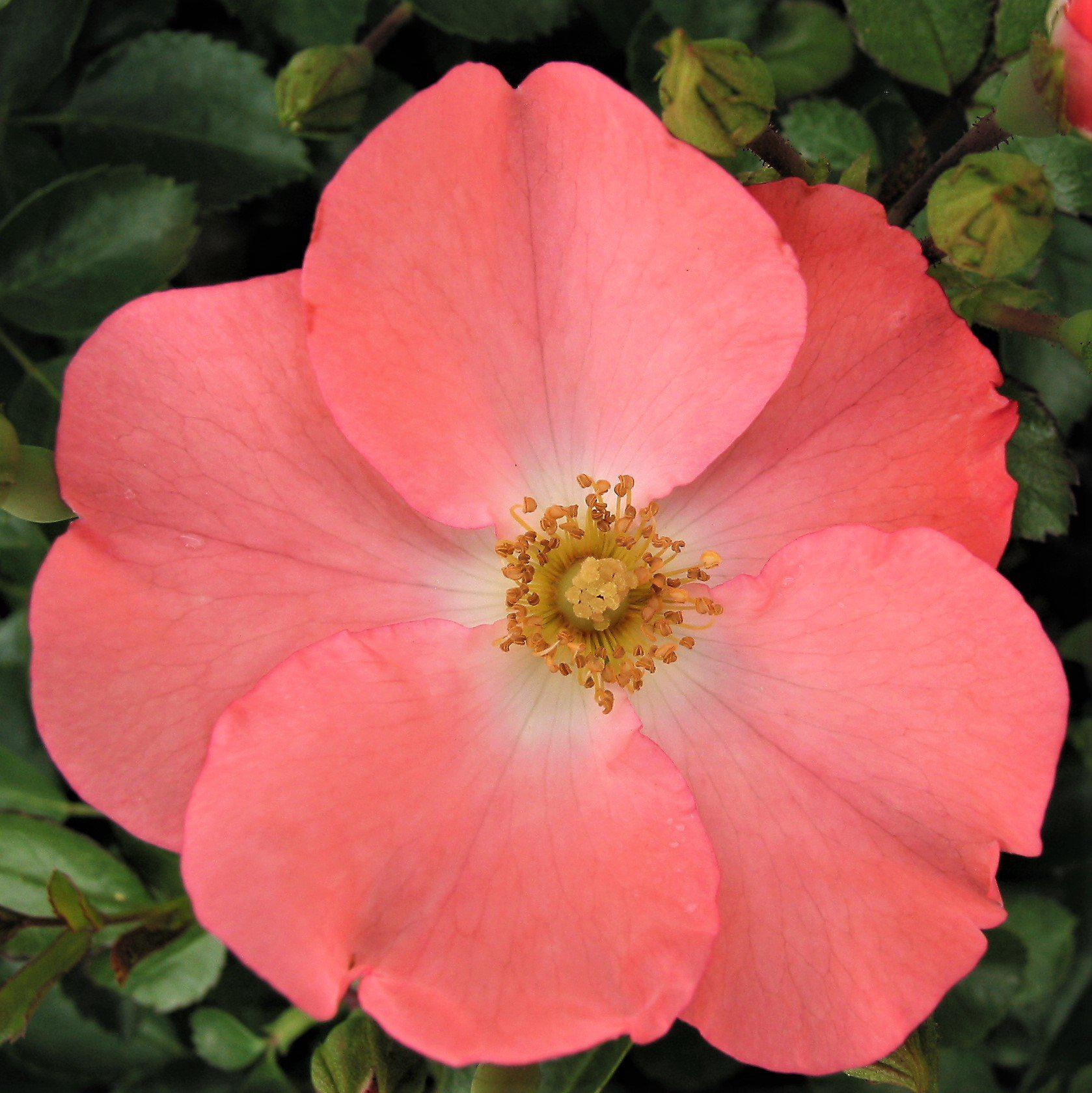 Flower Carpet Rose Coral Easy To Grow Bulbs