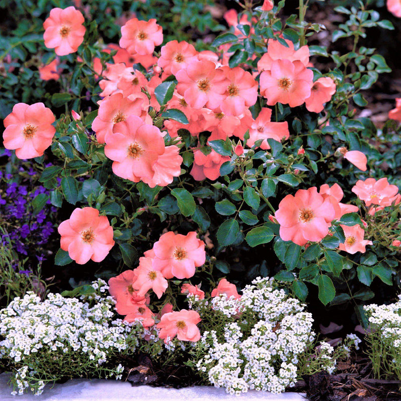 Flower Carpet Rose Coral