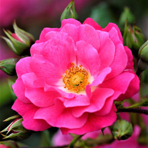 products/Flower_Carpet_Rose_Pink.TESSELAAR.jpg