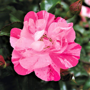 products/Flower_Carpet_Rose_Pink_Splash.TESSELAAR.jpg