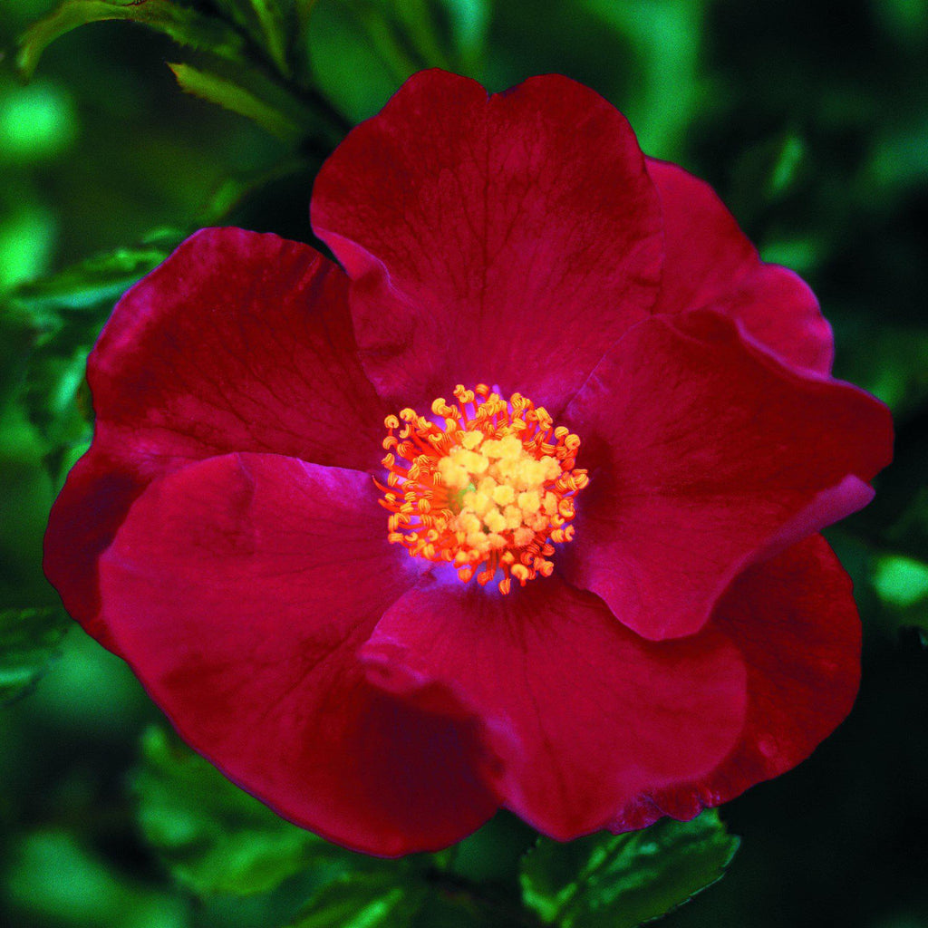 Flower Carpet Rose Red Easy To Grow Bulbs