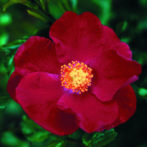 products/Flower_Carpet_Rose_Red.TESSELAAR.jpg