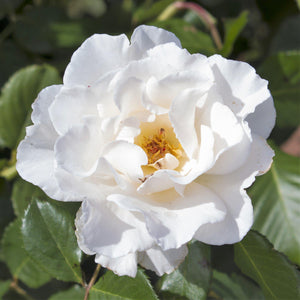 Flower Carpet Rose White