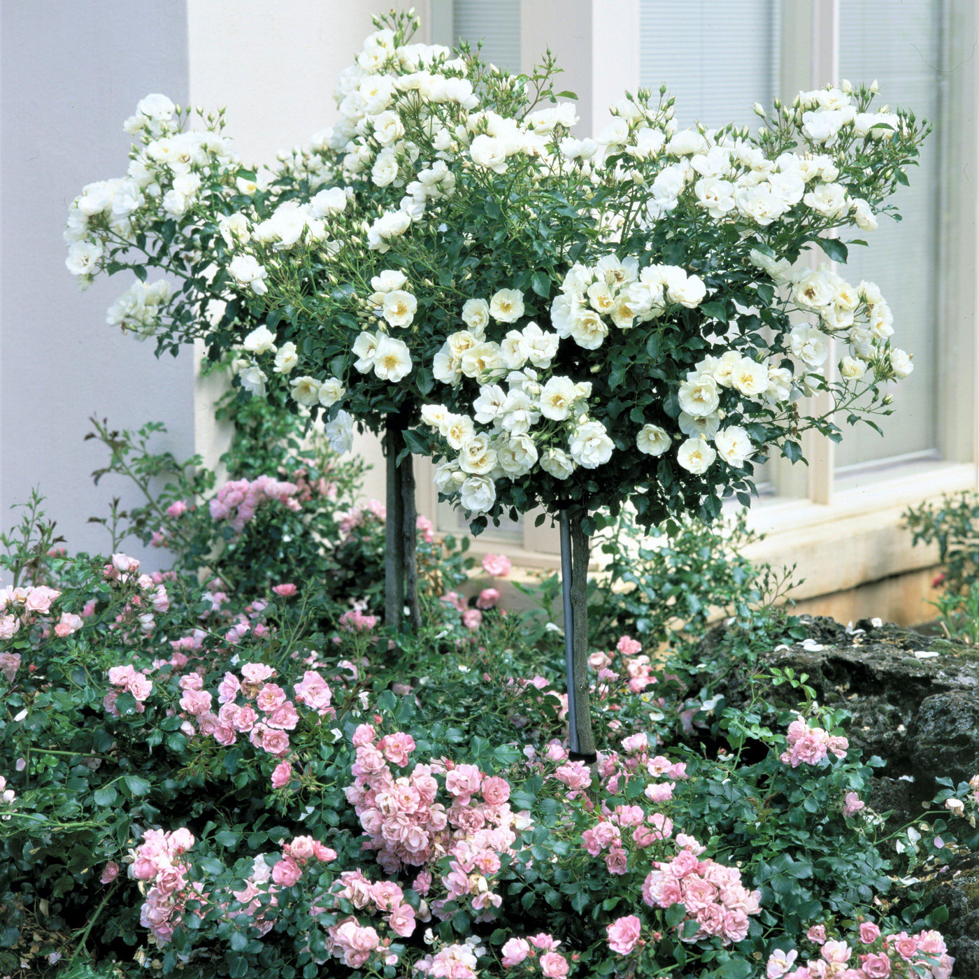 Flower carpet rose white easy to grow bulbs flower carpet rose white mightylinksfo Image collections